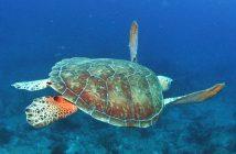 BVI Turtle